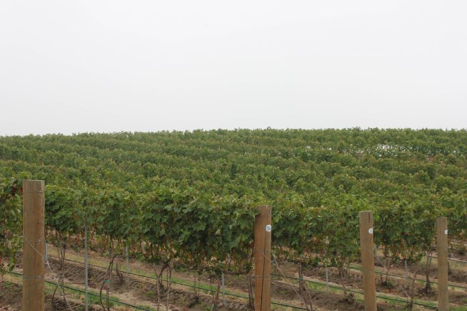 Vineyards at Basel Cellars